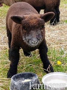 Baby Doll Sheep $200 A Piece Or 2 For $300 (Sheep) for Sale