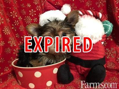 AKC T-CUP YORKIE PUPPIES FOR XMAS ADOPTION for Sale