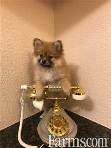 Top Quality Teacup Pomeranian Puppies for Sale