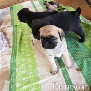 Tea Cup Pug Puppies Available For Sale Classified Farmscom