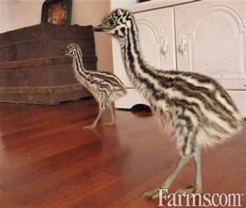 4da143cbae We have a pair of Emu chicks for Sale | Classified | Farms.com