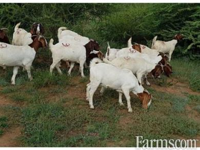Pure Bloodline Boer Goats For Sale