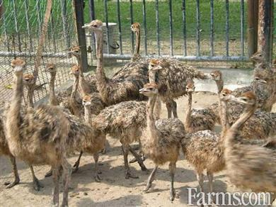 0fc855f30c emu and ostrich available for Sale | Classified | Farms.com