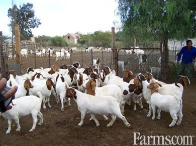 South Africa Boer Goats Suppliers For Sale